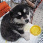 Выбор щенка — определяемся с породой