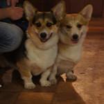Выставка собак Тула