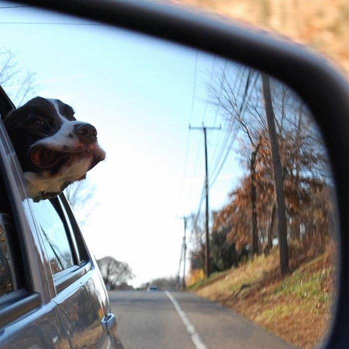 собака в машине фото