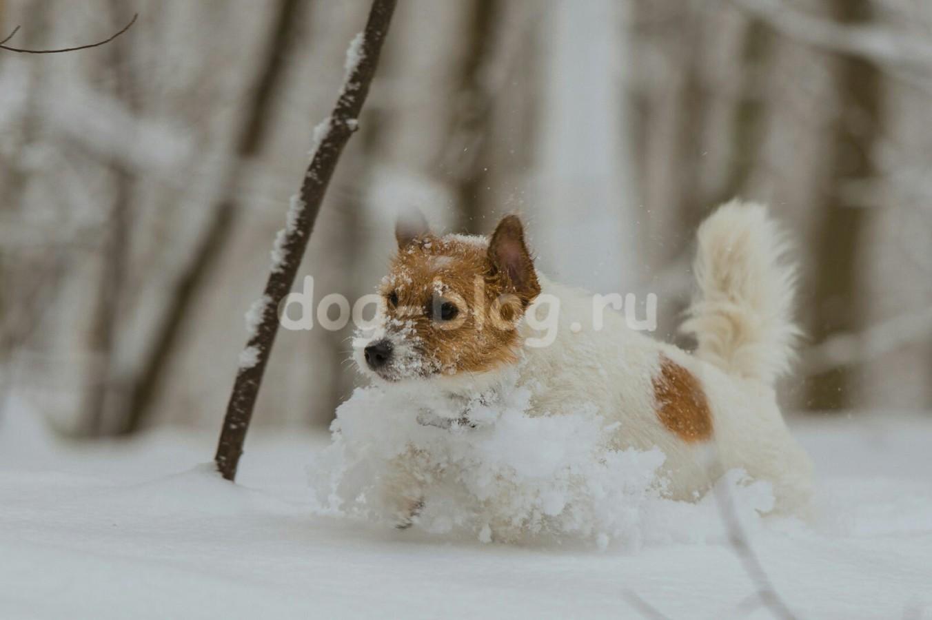 джек рассел и зима