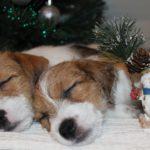 новогодние щенки