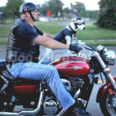 джек рассел на мотоцикле