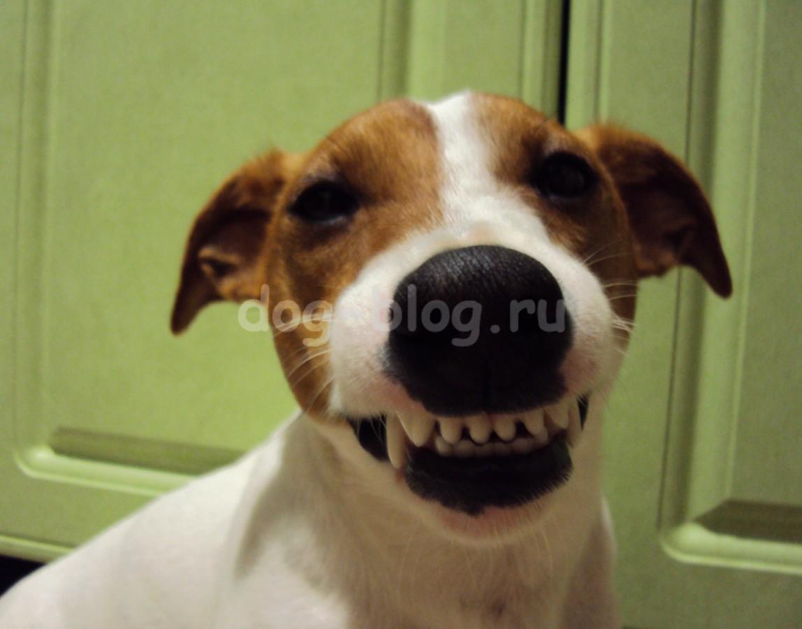 джек рассел терьер с улыбкой