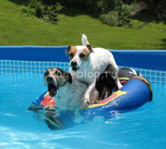 джек рассел терьеры в бассейне