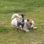 Собака играет с птицей (видео)