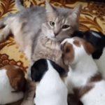 Щенки джек рассела и кот (видео)