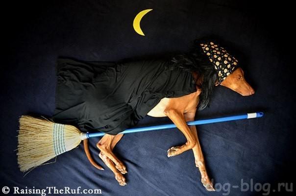 фараонова собака Руфус