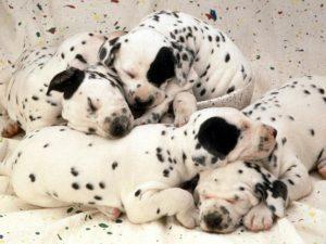 спящие собаки фото