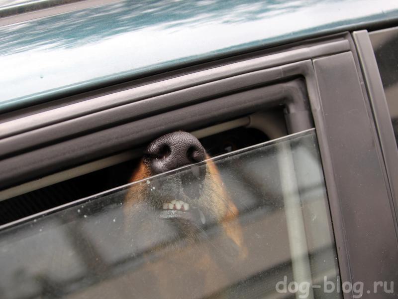 собаку тошнит в машине