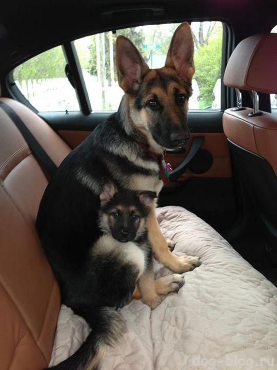 собака мать