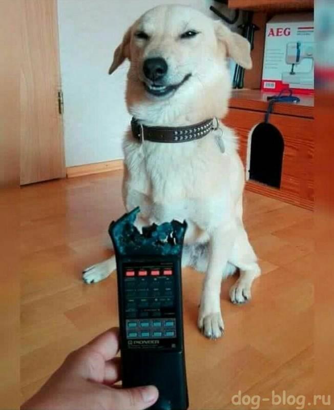 мимика нашкодившей собаки