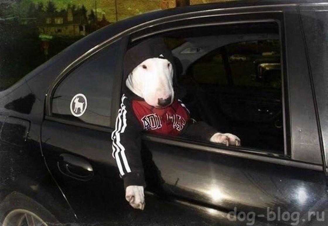 одетая собака в машине