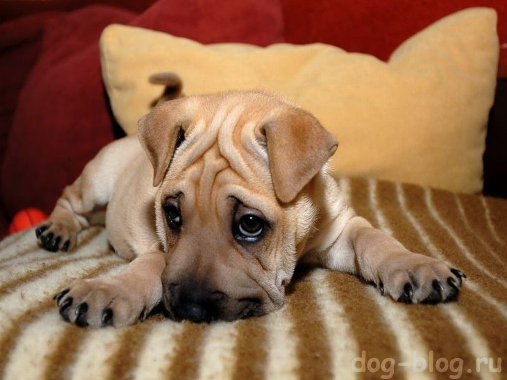 мимика собаки - грусть
