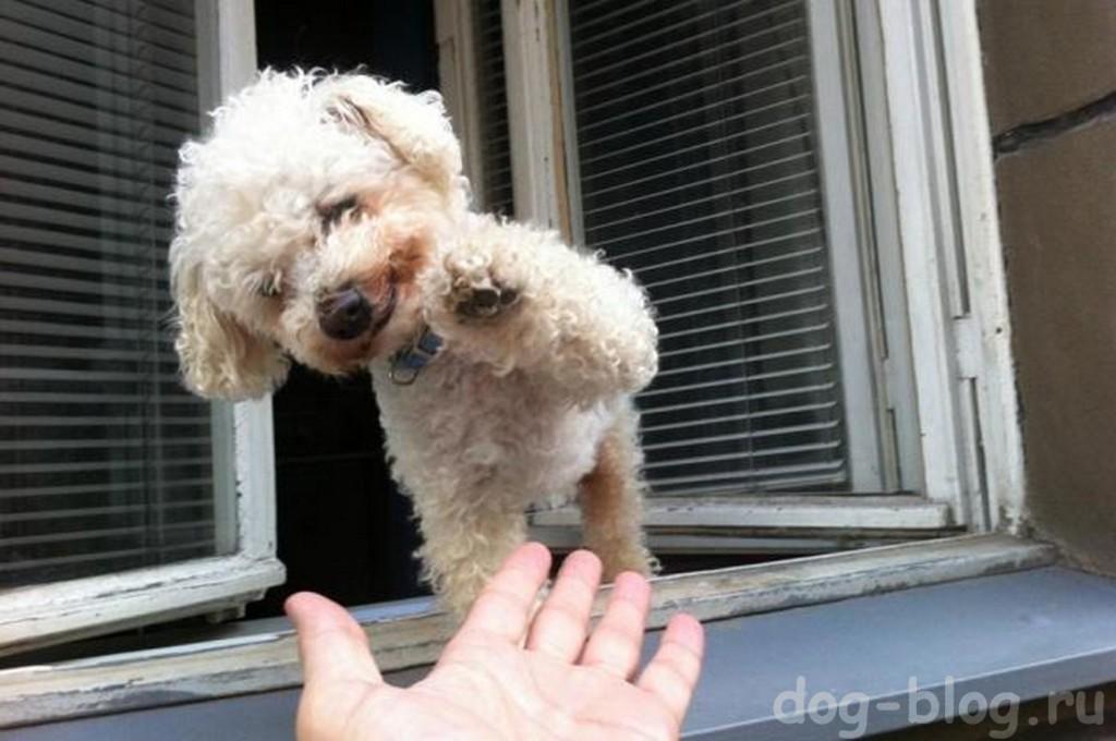"""команда собаке """"дай пять"""""""