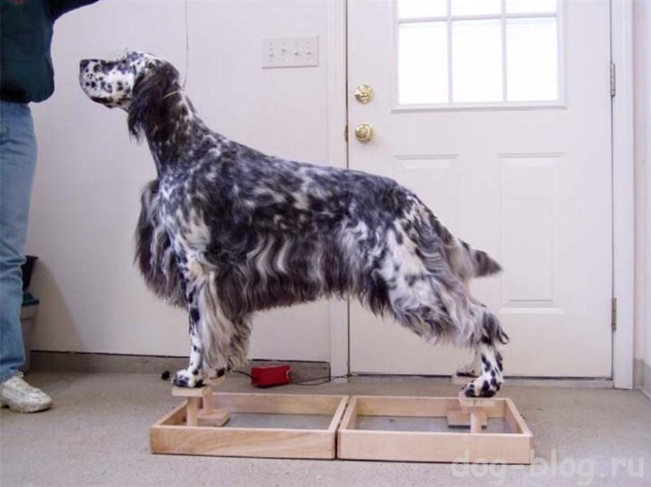 выставочная стойка собаки на Happy Legs