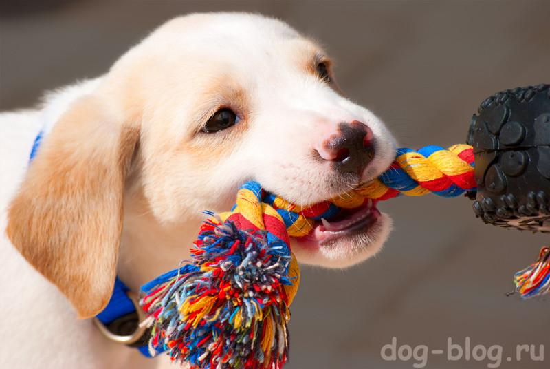 собака грызёт игрушку