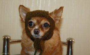 смешная собака в шапке