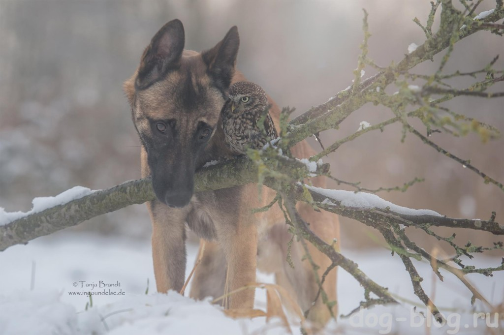 бельгийская овчарка малинуа фото