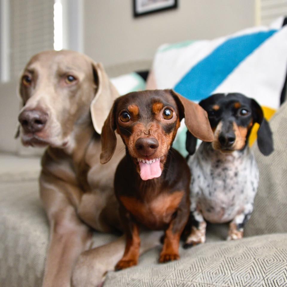 три весёлые собаки