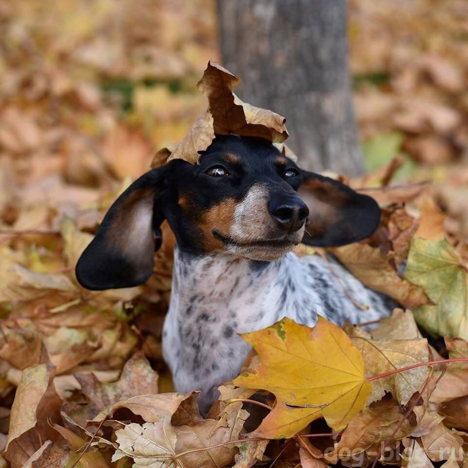 такса в осенних листьях