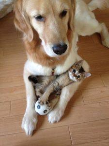 как подружить взрослую собаку с котёнком