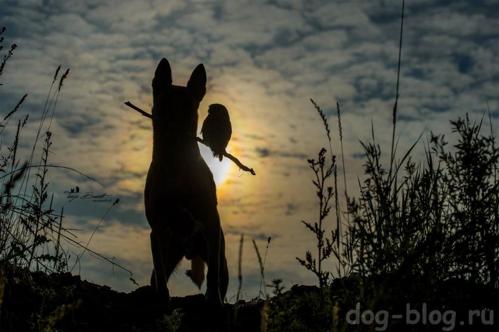 овчарка малинуа фото
