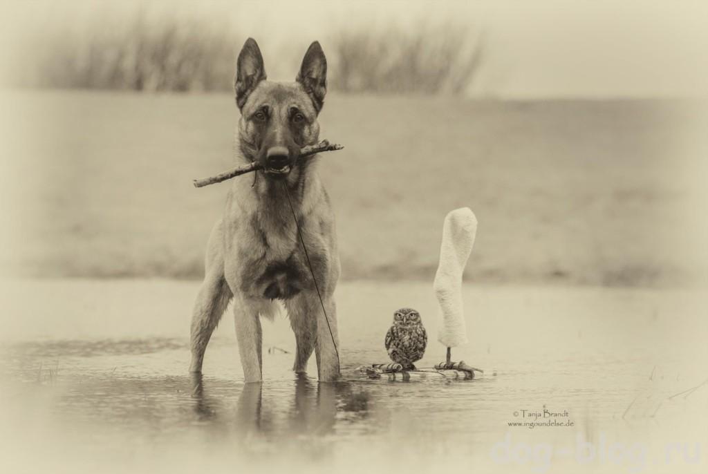 малинуа собака фото