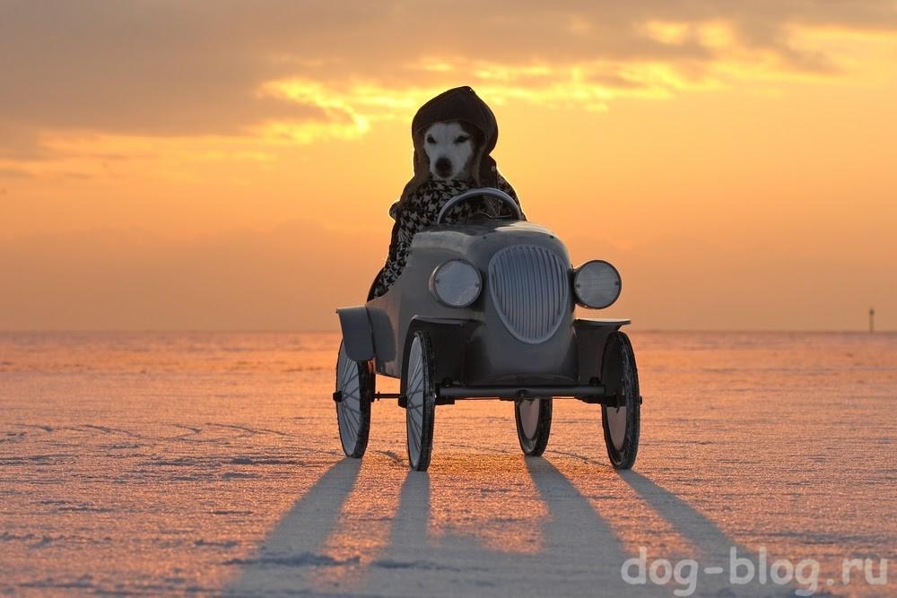 собака в пальто и в шапке