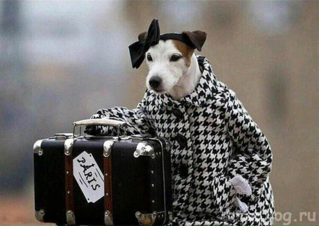 собака в пальто и с чемоданом