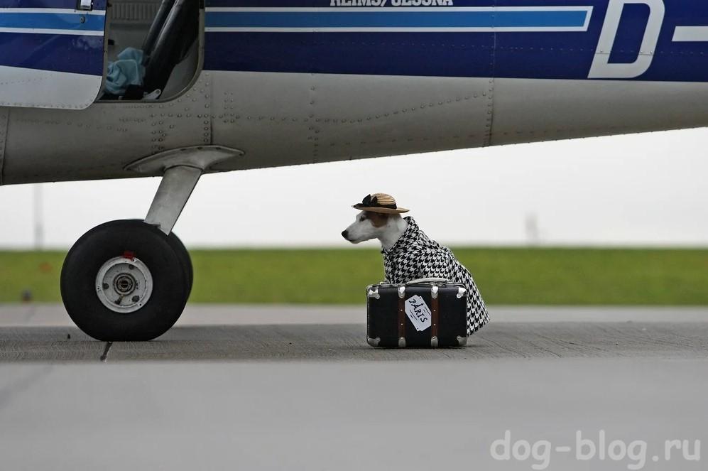 собака в пальто с чемоданом