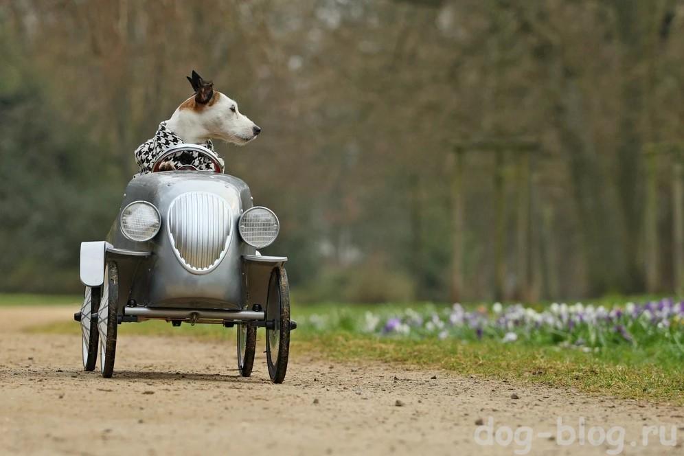 собака в пальто на авто