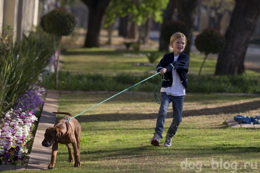 как похудеть собаке - пусть тянет поводок!