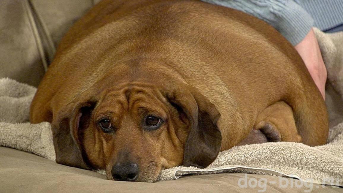 самая толстая собака