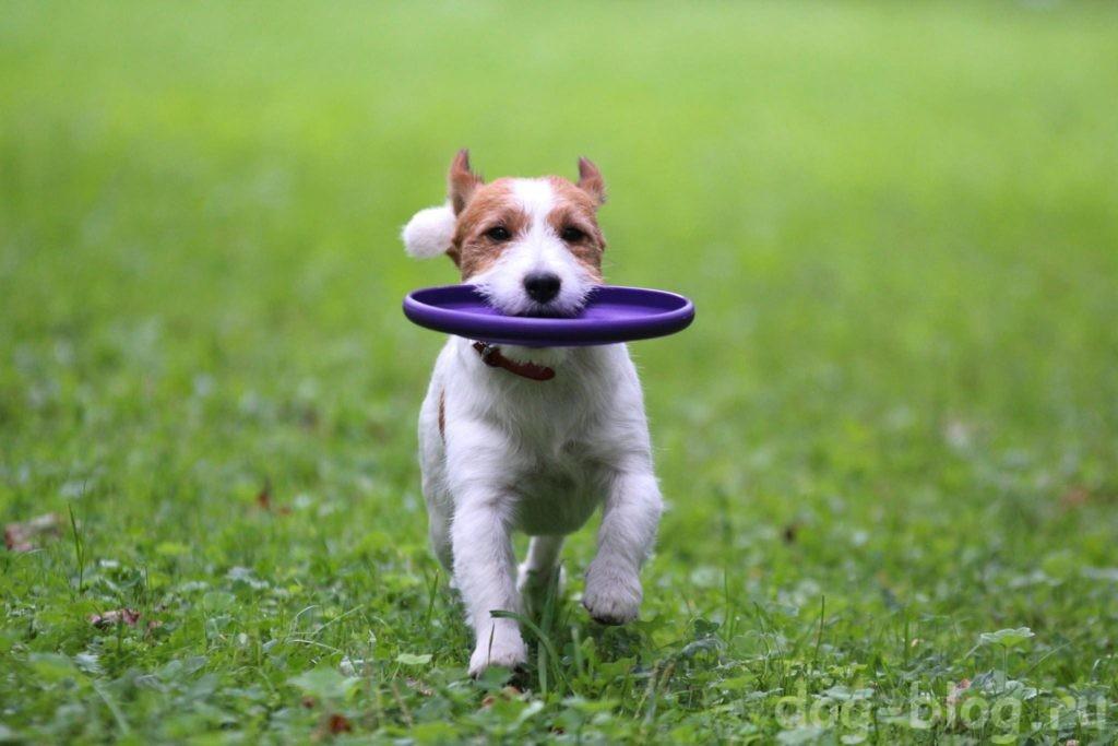 как похудеть собаке - играть во фризби