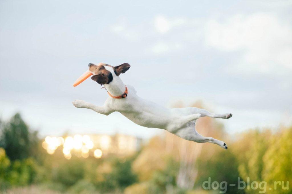 как похудеть собаке - играть во фризби 2