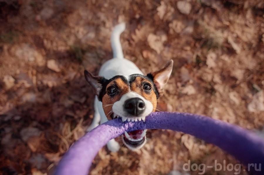 как похудеть собаке - играем в перетяжки
