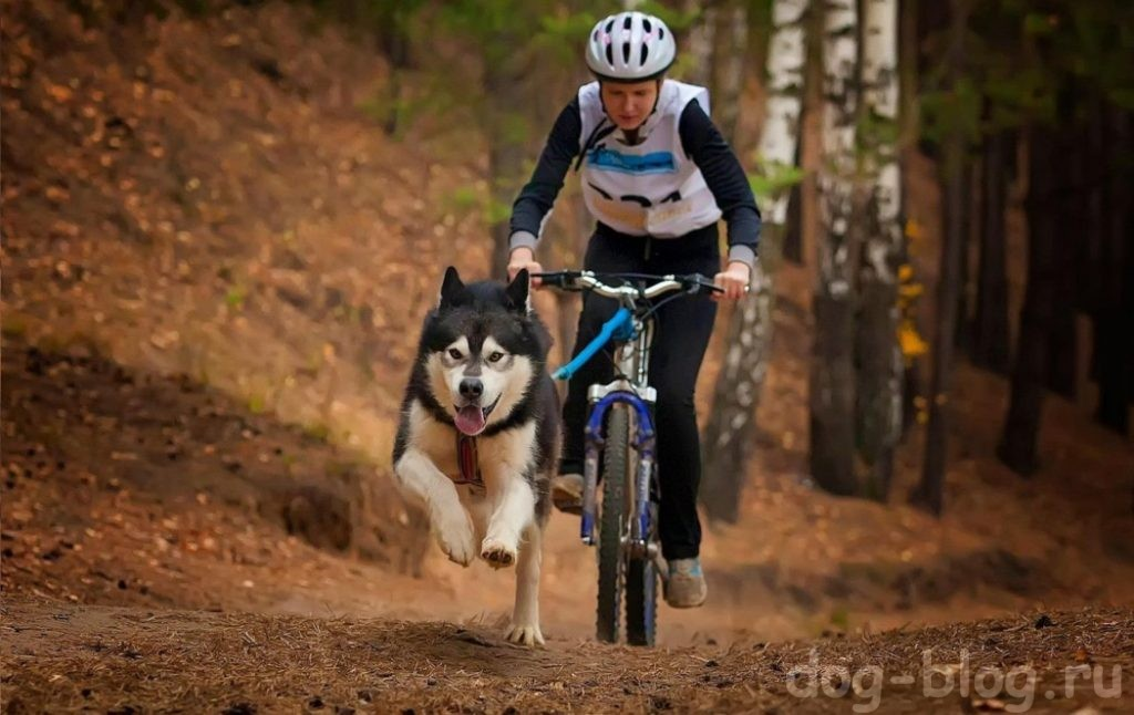 как похудеть собаке - тянуть велосипед