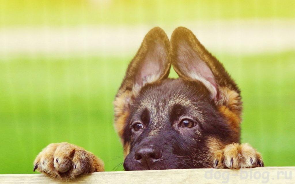 начало дрессировки щенка