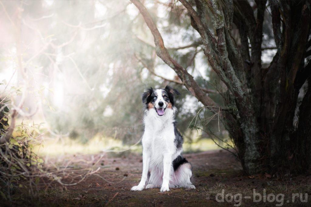 мужская порода собаки австралийская овчарка