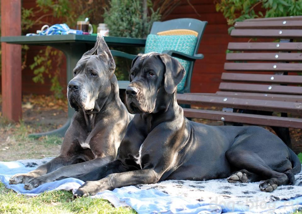 мужская порода собак немецкий дог