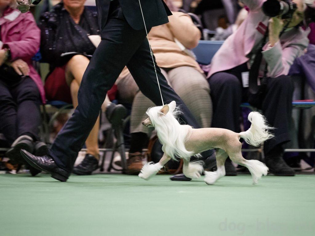 хендлер с собакой в ринге