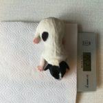 Взвешивание новорожденных щенков джек рассел терьера