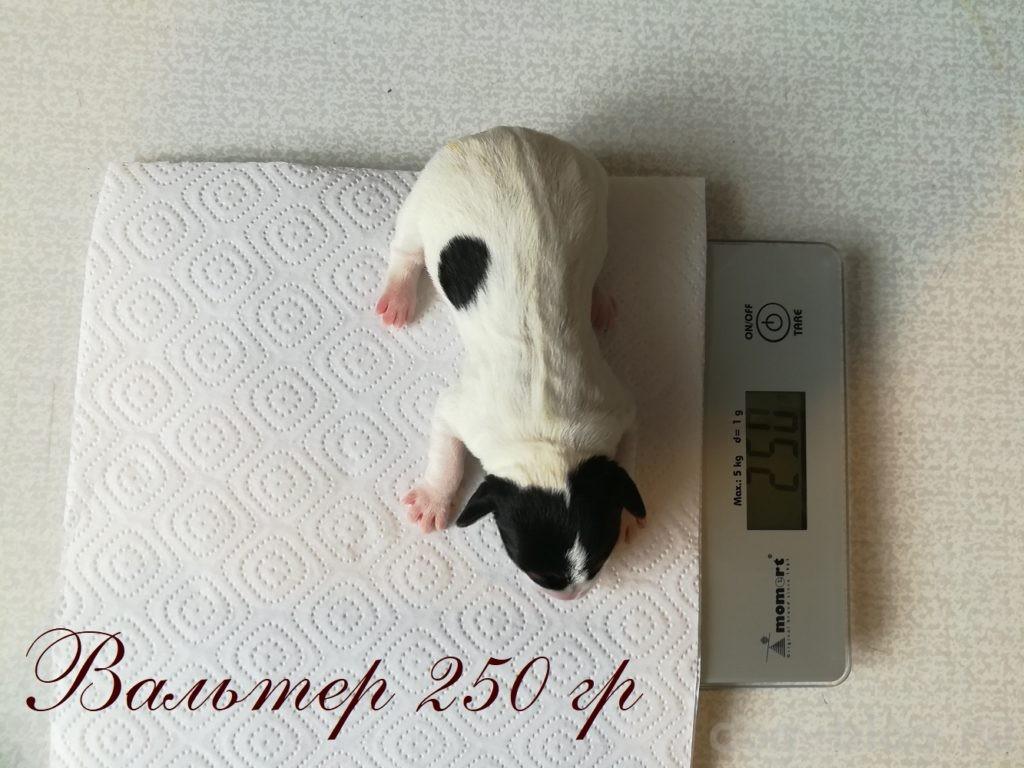 вес щенка джек рассел терьера