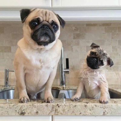 ранняя социализация щенка