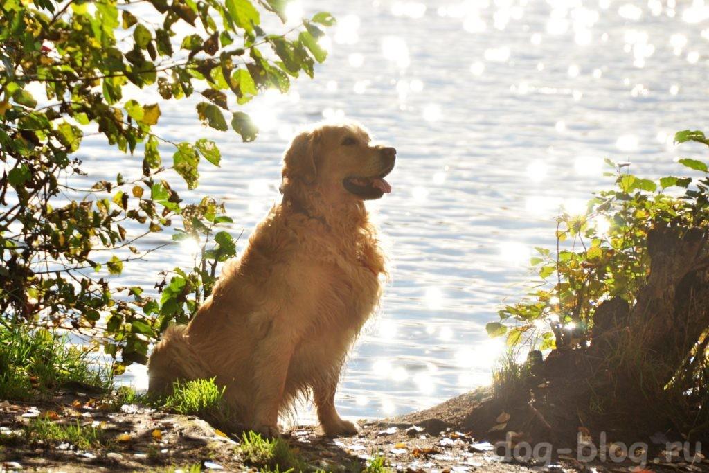 мужская порода собак золотистый ретривер