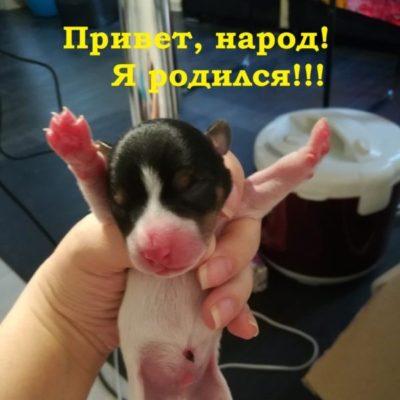 новорожденный джек рассел терьер