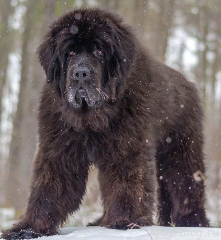 мужская порода собак ньюфаундленд