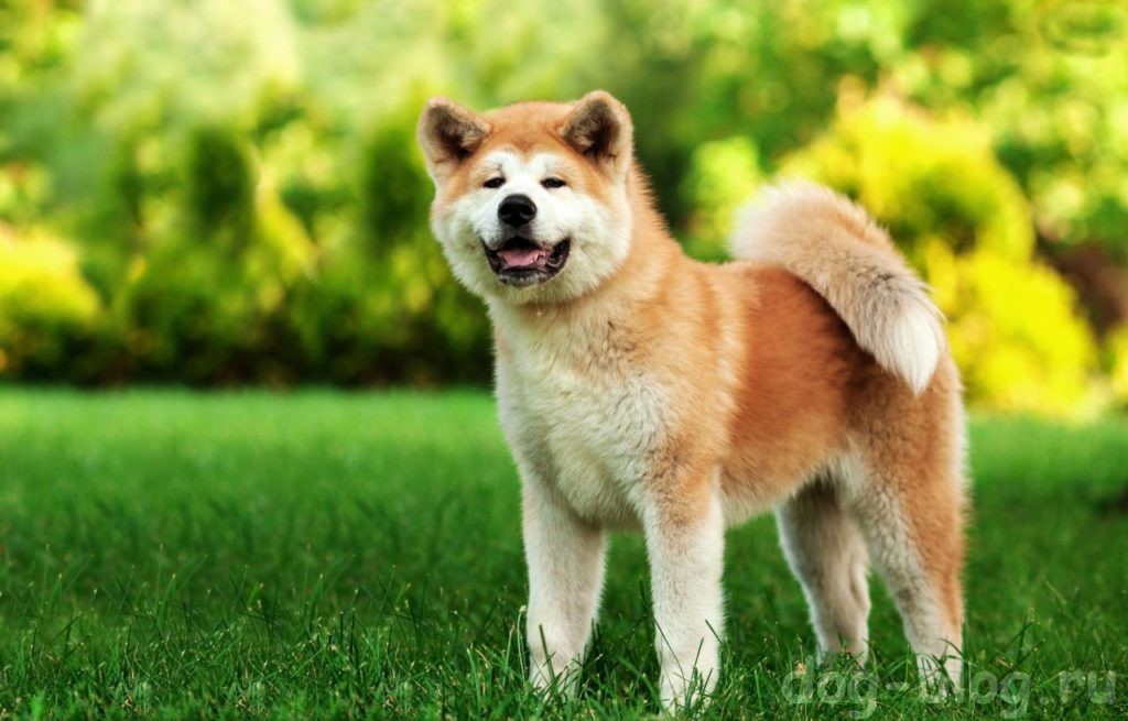 мужская порода собак акита ину