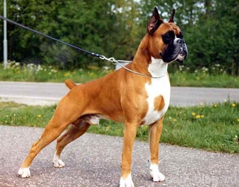 мужская порода собак боксер