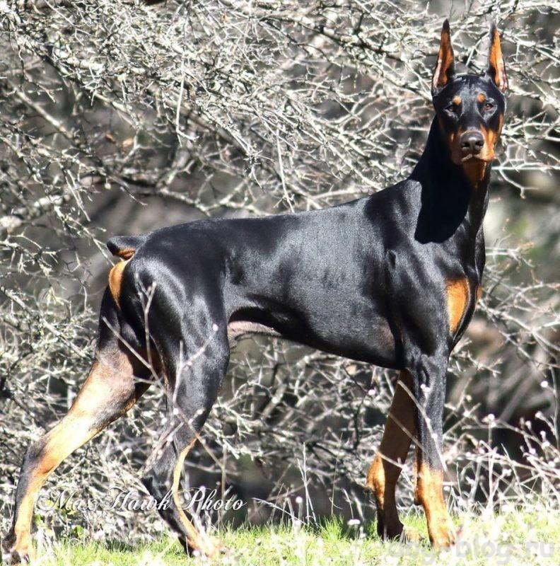 мужская порода собак доберман